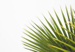 Když se palmě nedaří, na vině jsou chyby při pěstování