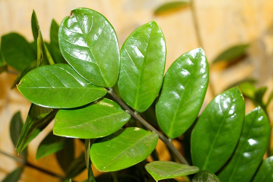 Zamioculcas patří k oblíbeným rostlinám. Pozor na pár věcí