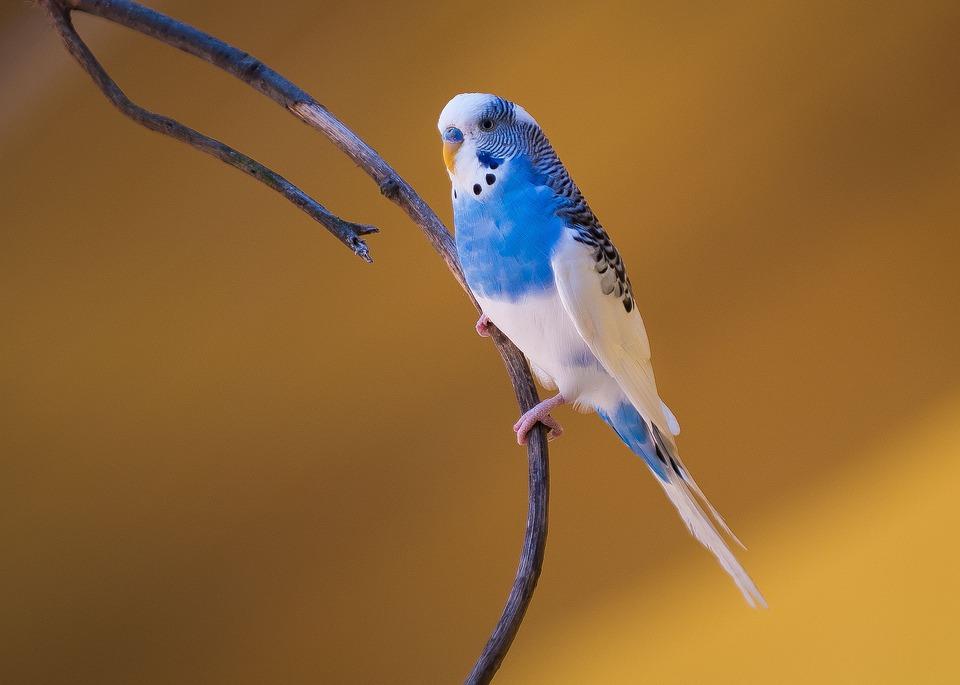 Druhy papoušků, které můžete chovat v bytě